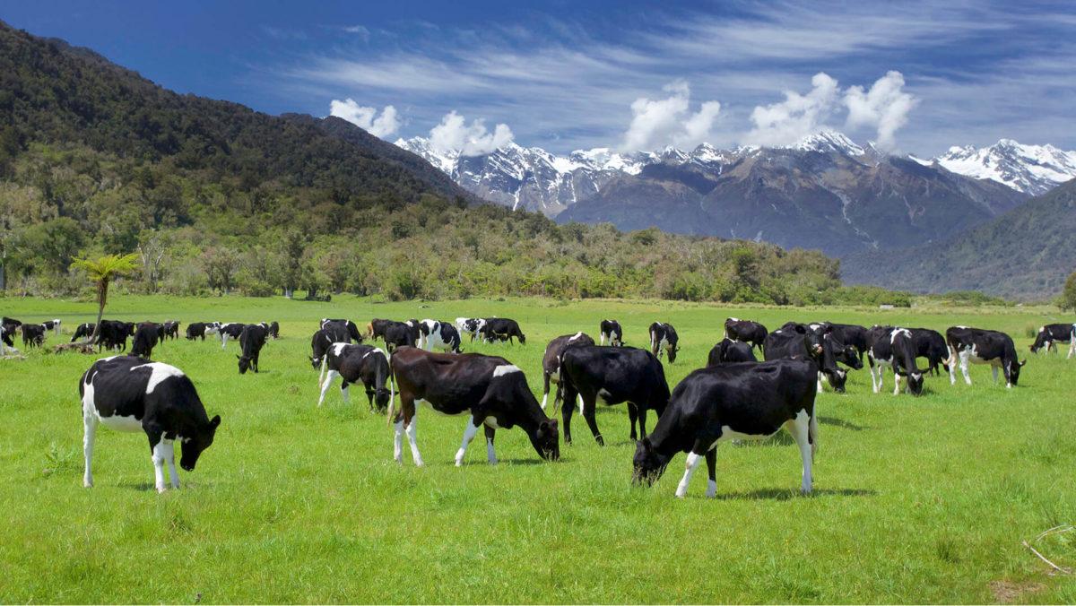 ニュージーランドの豊かな土地に放牧されている牛